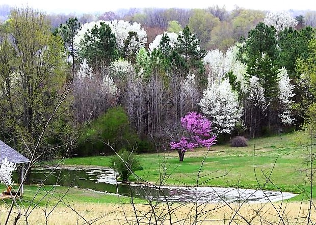 Blountcountymastergardenerstn bradford pear invasive in early spring blount county erupts in clouds of white puffballs driveways and roads are lined with drifts of white blossoms and many people feel spring mightylinksfo